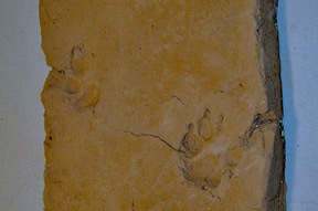dog prints in a 17th century adobe from Isleta Pueblo church